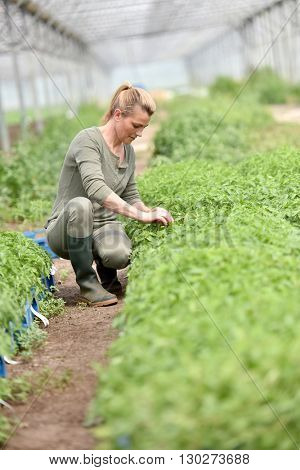 Farming worker in greenhouse