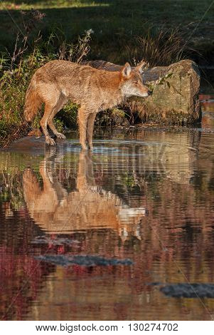 Coyote (Canis latrans) Reflected - captive animal