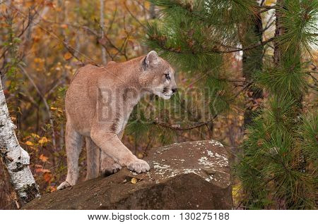 Adult Male Cougar (Puma concolor) Turns Right Atop Rock - captive animal