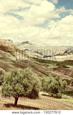 Olive Trees on the Sloping Hills of Sicily in Italy Retro Image Filtered Style