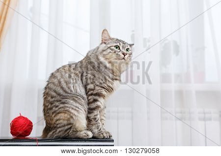 Kuril Bobtail cat looking sideways. Ball of yarn. Thoroughbred cat. Cute and funny kitten. Pet.
