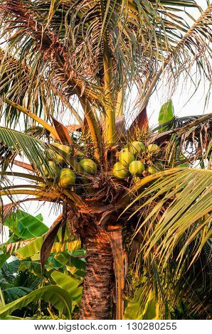 The fruit of coconut on the tree