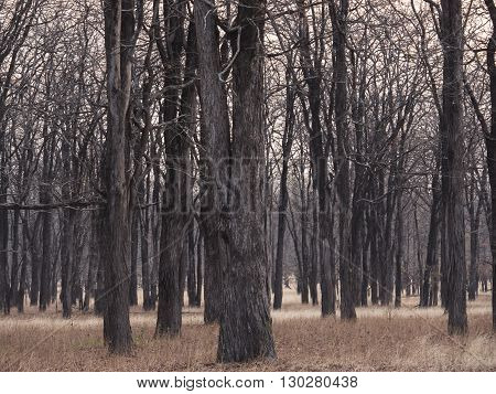 the big forest in the African savanna