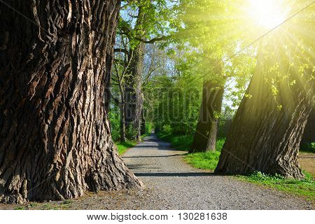 Avenue of old trees in sunny day.