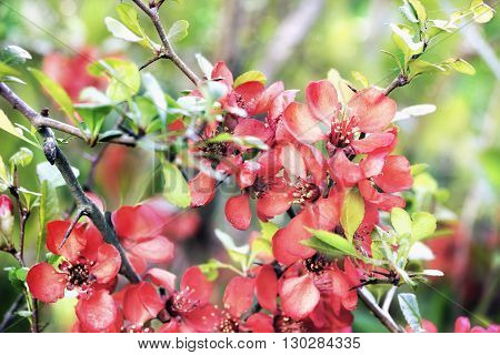Close view of red quince blossoms in spring