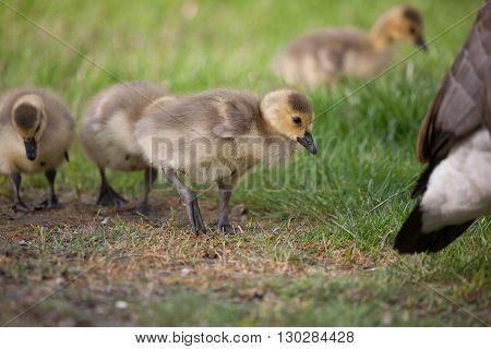 Young Canada Goose goslings in a field of green grass