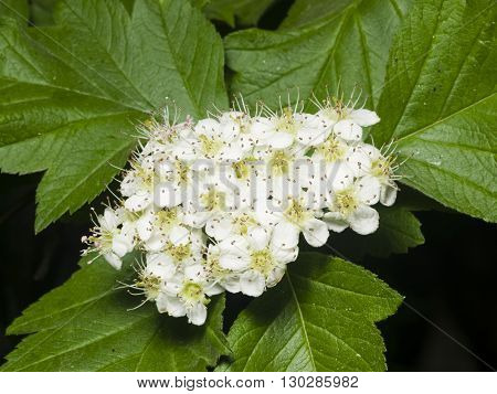 Blossoming hawthorn or maythorn Crataegus flowers and leaves close-up selective focus shallow DOF