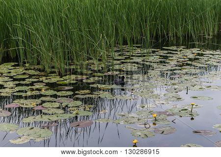 One Duck Swims in the Lake among the Lotus and Reeds. Yellow flowers in the Lake.