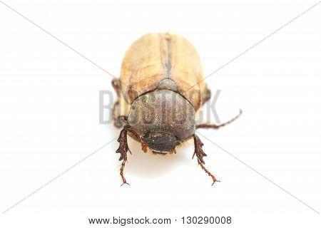 Cockchafer, May Bug On White