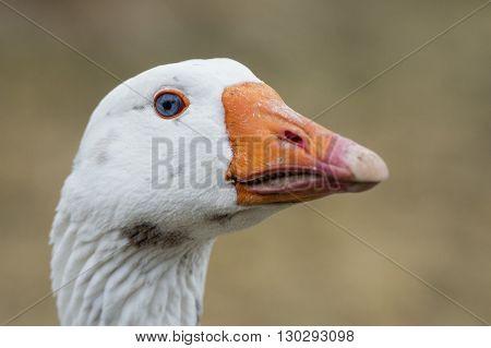 Goose Close Up Portrait
