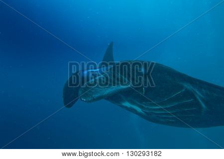 A Very Rare Black Manta In The Blue Background