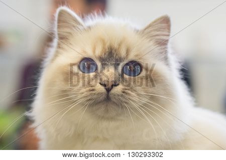 Birmania Cat Close Up Portrait