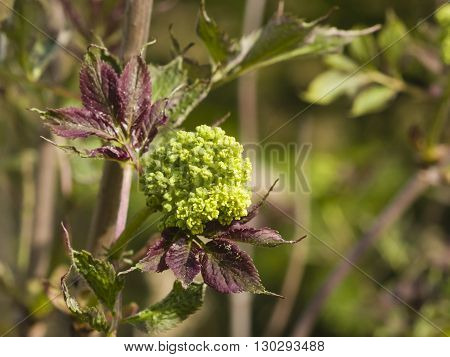 Flower buds and leaves of red elderberry Sambucus Racenosa on branch with bokeh background macro selective focus shallow DOF