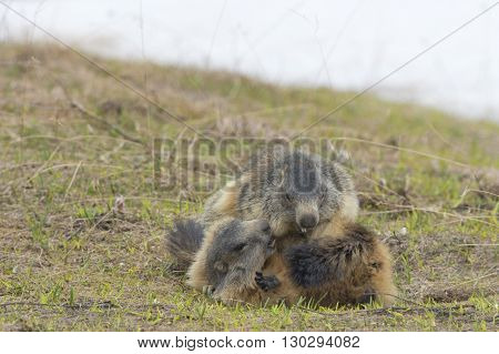 Two Marmot While Playing