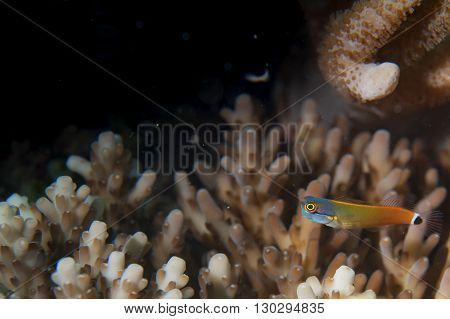 A Small Red Yellow And Blue Fish On A Hard Coral In Raja Ampat, Papua Indonesia