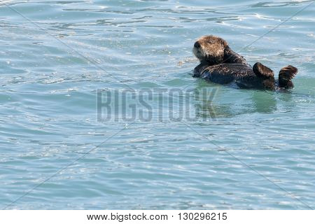 Sea Otter Swimming In Prince William Sound, Alaska