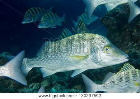 Colorful Grouper Fish