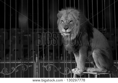 A Circus Lion Portrait In Black And White