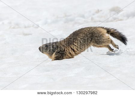 Ground Hog Marmot Day Portrait Running On Snow