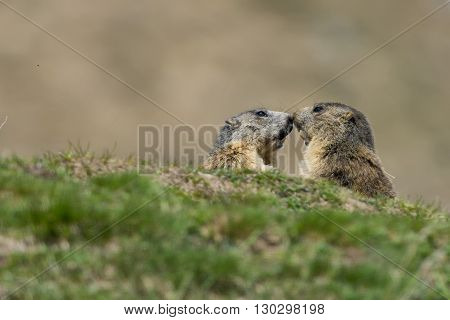 ground hog Marmot close up portrait on grass background