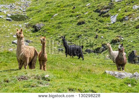 Alpaca Family Portrait While Looking At You
