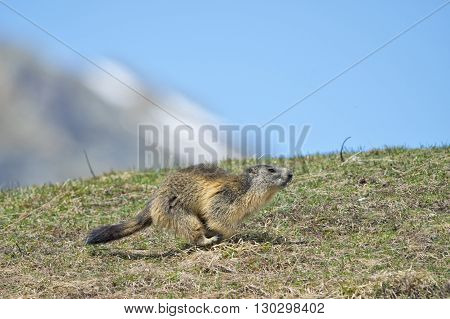 Marmot Portrait While Running