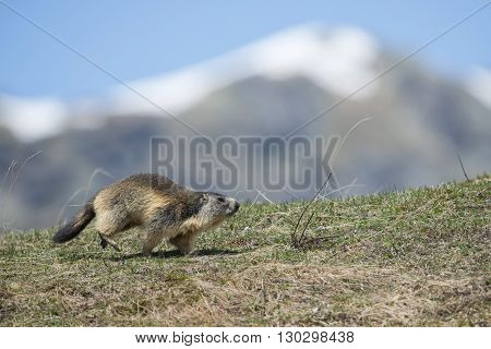 Isolated Marmot While Running On The Mountain Background