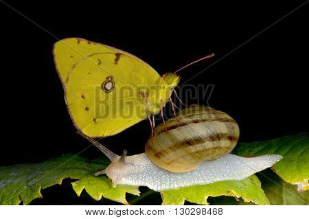Yellow Butterfly On A Snail