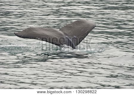 Humpback Whale Tail While Going Down In Glacier Bay Alaska
