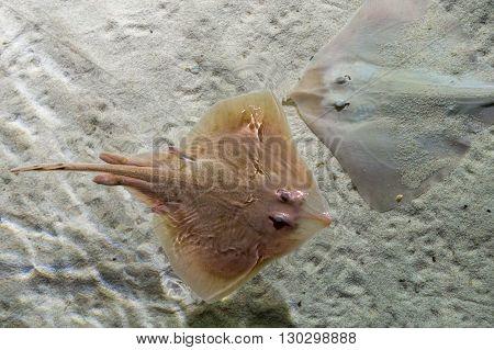 Parsnip Stingray Fish On Sand