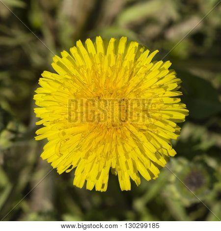 Yellow flower Common dandelion Taraxacum officinale close-up soft edges selective focus shallow DOF