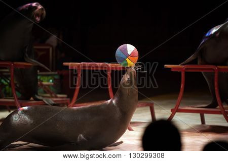 Circus Seal While Playing On The Black