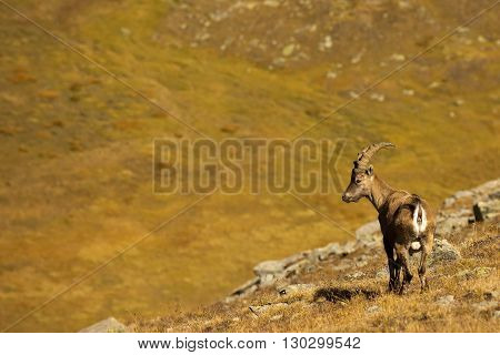 An Isolated Ibex Lonh Horn Sheep Clode Up Portrait On The Brown Background