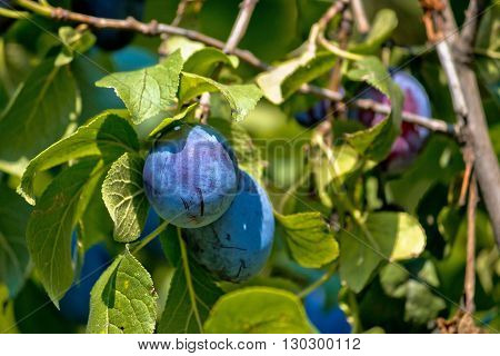 Ripe plum fruit on green tree view
