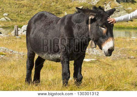 Hand Touching A Donkey Close Up Portrait
