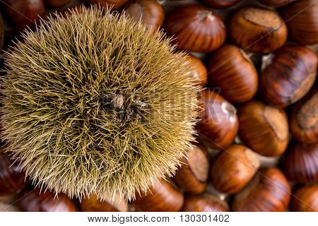 curly chestnut on heap of chestnut for food background