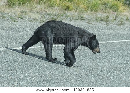 A Black Bear Crossing The Road