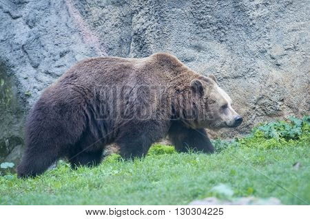 Black Grizzly Bears