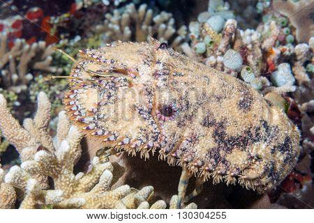 Sea Squill Underwater Close Up Portrait