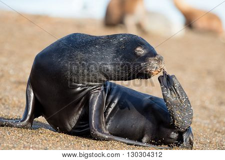 Female Sea Lion Seal Picking Nose With Fin In Patagonia