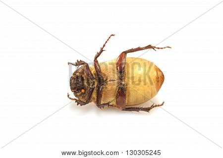 Cockchafer or May bug on white background