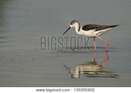Isolated black winged stilt while fishing close up