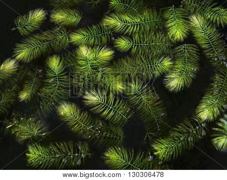 Aquatic Plant Green leaves textured in water
