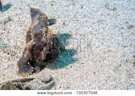 Black Big Frog Fish Underwater