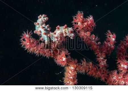Bargibanti Pigmy Sea Horse In Indonesia