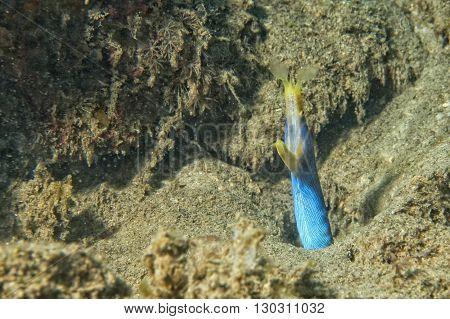 Yellow And Blue Eel Mooray Portrait