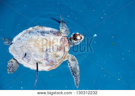 Turtle Near Sipadan White Sand Beach