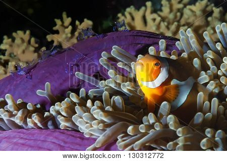 Clown Fish In Anemone With Shrimps On Black Background
