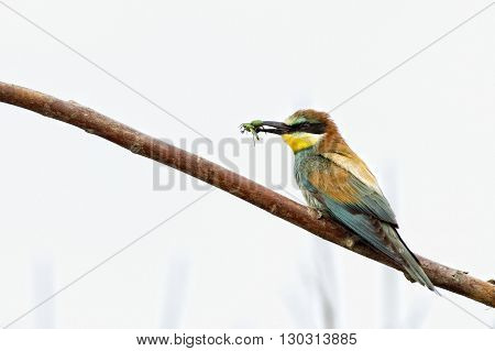 Bee Eater On The Tree Isolated On White