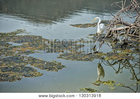 White Egret Heron While Eating A Fish